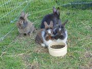 Kaninchen Jungtiere aus Hobbyzucht