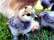 seidenhühner bruteier