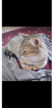 Bkh Bengal Mix Katze