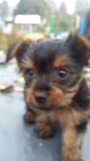 Jorkshire terrier minni