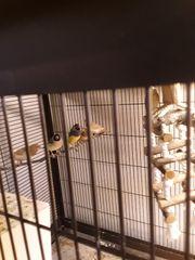 Junge Mövchen Paar Gouldamadinen