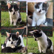 Baby Katze Kitten Fee geimpft