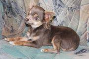 Chihuahua welpe mit Ahnentafel