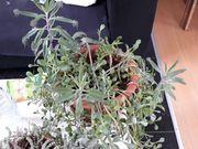 Brutblatt und weitere sukkulente Pflanze