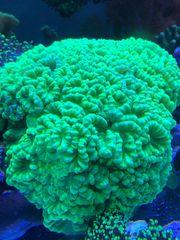 Caulastrea Furcata große Stöcke Korallen