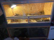 Bestandsauflösung Terrarien Bartagamen Leopardgeckos Terrarium