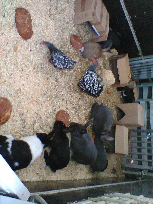 Viele Kaninchen Hasen Hasinen Rammler Jungtiere Zu Verkaufen