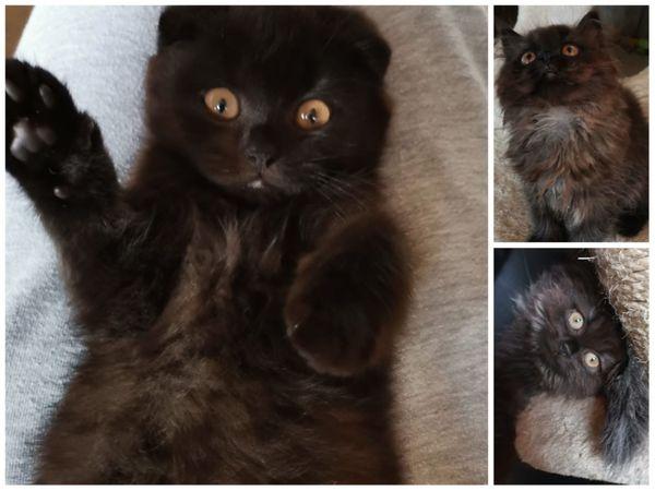 BKH -BLH Mix Kitten