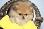 Zwergspitz Pomeranian Hündin zu verkaufen