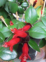 Aeschynanthus radicans -rot blühende Rankpflanze