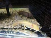 Axolotl Nachwuchs