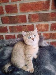Zuckersüße BKH Kitten mit Stammbaum