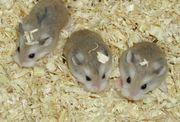 Junge Zwerghamster abzugeben kleine Hamster