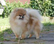 Wunderschöne kleine Zwergspitz Pomeranian Hündin
