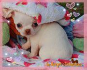 Traumhafte Chihuahua Welpen aus Seriöser