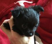 Bezaubernde kleinbleibende Chihuahua Welpen