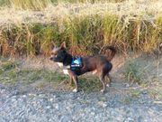 Chihuahua Rüde in Blau