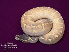 Python regius/Königs Python/ Schlangen