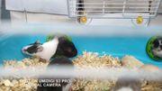 Schecken - Hamster in verschiedenen Fell -