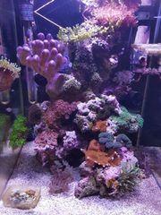 Aquarium Meerwasser Koralle Zoanthus Weichkoralle