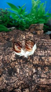 Achatschnecke Achatina fulica