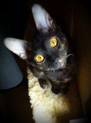 Cornish Rex Katze 1 5
