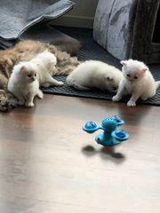 Angora BLH Kitten