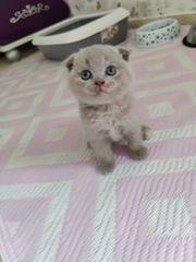 Reinrassige BKH Kitten 2 noch