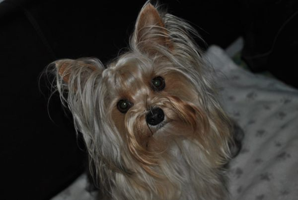 Yorkshire Terrier Gold-Dust Deckrüde