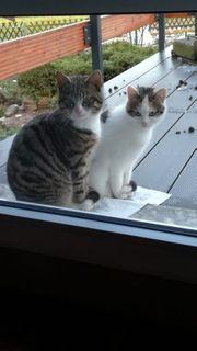 Junge Tricolor Katze und Tiger