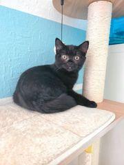 BKH Kitten Weibchen Lea 19