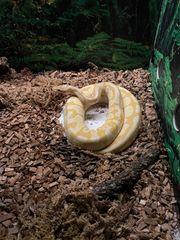 Python regius banana enchi pastel