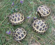 1 Jahr alte Vierzehenschildköten Steppenschildkröten