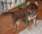 Chihuahua Hündin noch zu vergeben