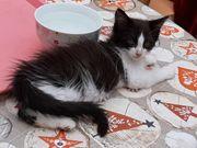 Wundervolle Maine coon Kitten 2