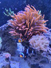Kupferanemone Meerwasser Koralle