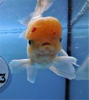 KOI 13 Anz 102 2020 Goldfisch -