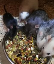 Ratten M W abzugeben