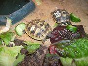 Griech Landschildkröten