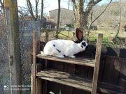 Kaninchen- Bock- Riesenschecke aus 2020