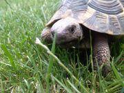 Verkaufe zwei griech Landschildkröten