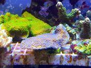 Meerwasser Sps Montipora Blaue Polypen