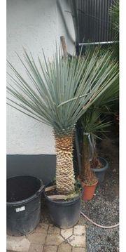 Palme Yucca Rigida Winterhart