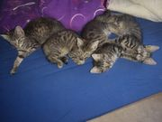Maine coon mix kitty s