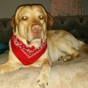Labrador Deckrüde aus München sucht