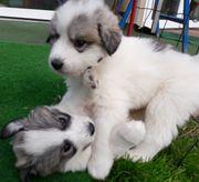 Pyrenäenberghund-Welpenglück