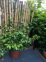 Der besondere Blickfang - Traumhafter Camelienbusch