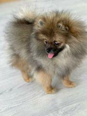Pomeranian mini Junge