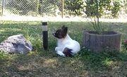 Chihuahua Jungrüde