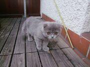 Katze grau Rasse schottisch - 3